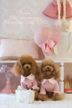 I don't like the pink ruffles but they sure are cute dogs. Teddy Bear Poodle, Baby Animals, Cute Animals, Poodle Haircut, Red Poodles, Tea Cup Poodle, Poodle Grooming, Poodle Mix, Small Dog Breeds