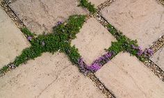 The obvious choice in paving cracks is thyme.