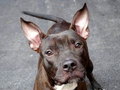 TO BE DESTROYED - 8/20/14 Manhattan Center -P  My name is PRECIOUS. My Animal ID # is A1010637. I am a female black and white pit bull mix. The shelter thinks I am about 11 MONTHS old.  I came in the shelter as a OWNER SUR on 08/15/2014 from NY 10462, owner surrender reason stated was NO TIME.  https://www.facebook.com/Urgentdeathrowdogs/photos/a.611290788883804.1073741851.152876678058553/856274387718775/?type=3&theater