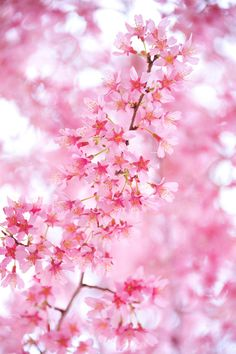 plasmatics-life: Feeling Pink ~ By さくら / Sakura My Flower, Pretty In Pink, Pink Flowers, Beautiful Flowers, Beautiful Things, Sakura Cherry Blossom, Cherry Blossoms, Jolie Photo, Everything Pink