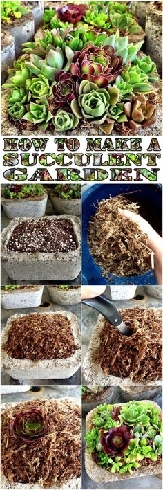How to Make a Succulent Garden How to : First fill your pot with cacti potting mix. Wet your sphagnum moss. Then squeeze any exess water out. Then put on top of the cacti potting mix. You hould remove any hard stems from the mos… Growing Succulents, Succulents In Containers, Cacti And Succulents, Planting Succulents, Planting Flowers, Succulent Gardening, Succulent Terrarium, Container Gardening, Garden Plants