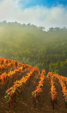 Autumn Vineyard in California~ ~it looked just like this for my niece's wedding in Napa in November<3
