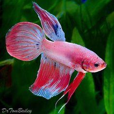 Common Betta Fish Diseases - Betta Fish Care - A Betta Fish Must Read! Pretty Fish, Beautiful Fish, Animals Beautiful, Betta Fish Types, Betta Fish Care, Betta Aquarium, Koi Fish Pond, Fish Ponds, Colorful Fish