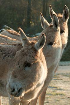 ˚Onager - Half donkey half mule