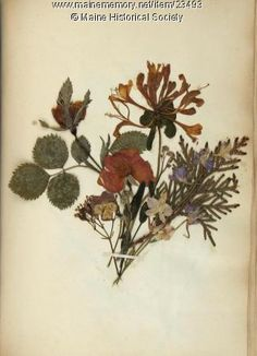 Pressed Flowers by Ann Longfellow Stephenson (1814-61), from the Maine Historical Society.