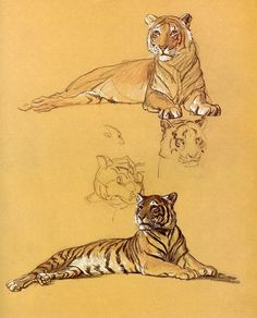 Things of beauty I like to see — Tigers by Raymond Sheppard (British, 1913-1958) ...