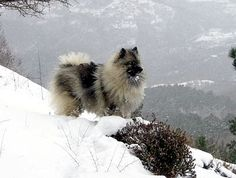 Keeshond...looks so much like my girl..miss her