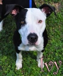 110 Ivy is an adoptable Pit Bull Terrier Dog in Largo, FL. Adoption Fees are $40. This includes spay/neuter, shot series, internal and external parasite control, rabies shot, license and county requir...