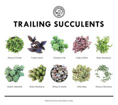 Trailing succulents have a cascading growth habit. It is best to grow them in hanging baskets to show off their draping nature Trailing succulents have a cascading growth habit. It is best to grow them in hanging baskets to show off their draping nature