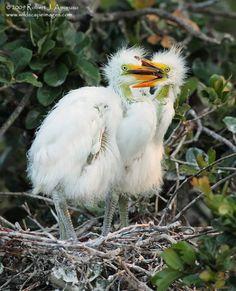 Great Egret Chicks, St. Augustine Alligator Farm, FL.  Image copyright 2009/Robert Amoruso/Wildscape Images