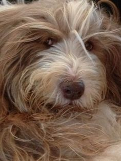 Mmmmh Cute Puppies, Cute Dogs, Dogs And Puppies, Bearded Collie Puppies, Golden Doodles, Tibetan Terrier, Doodle Dog, I Like Dogs, Wheaten Terrier