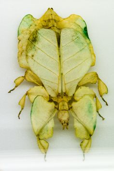 Leaf insect. Beautiful but I probably would flinch if it it was on me!