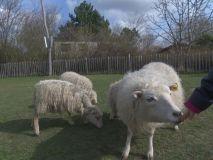 Schafe hautnah