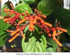 El buzunuco o coralillo es un arbusto que tiene flores todo el año y es visitado por numerosas mariposas y pequeñas aves. En Santo Domingo se encuentra en patios y aceras.
