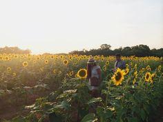 #sunflowers.