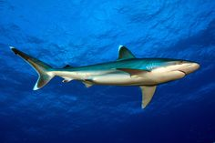 What to do if a shark is headed straight for you--advice from George Burgess, director of the Florida Program for Shark Research here at the Florida Museum of Natural History.