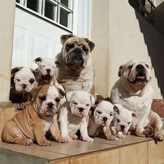 Stairway to heaven #englishbulldog