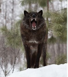 Perfect Timing Photos: A Close Encounter With A Minnesota Black Wolf Wolf Photos, Wolf Pictures, Wolf Spirit, My Spirit Animal, Wolf Photography, Wildlife Photography, Beautiful Wolves, Animals Beautiful, Der Steppenwolf