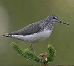 Metsäviklo, Tringa ochropus - Linnut - LuontoPortti Black And White Birds, Pretty Birds, Natural History, Bird Houses, Squirrel, Cute Animals, Wildlife, Nature, Beauty