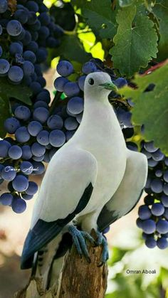 Dove and grapes