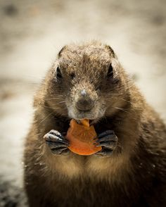 Omnom - Rodent eating a carot.