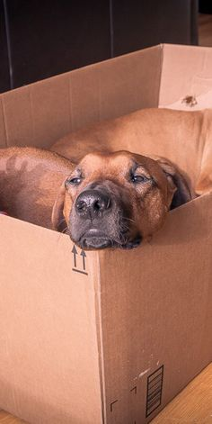 Petcentric by Purina Cute Puppies, Cute Dogs, Dog Whistle, Dog Best Friend, Crazy Dog Lady, Rhodesian Ridgeback, Dogs Of The World, Beautiful Dogs, Dog Life