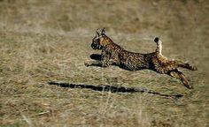 Ver Lince ibérico en el Parque Natural de la Sierra de Andújar.(View Iberian lynx in the Natural Park) - SIERRA DE ANDÚJAR