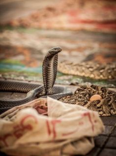 Cobra snakes in a market square, Marrakesh, Morocco