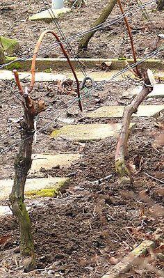 Grape Trellis, Vegetable Garden, Grape Vines, Raisin, Vineyard, Outdoor Structures, Plants, Fruit, Gardens