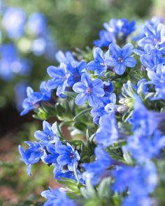 lithodora diffusa - Das schönste Blau an Frühlingstagen • Blumen & Pflanzen Blog • 99Roots.com