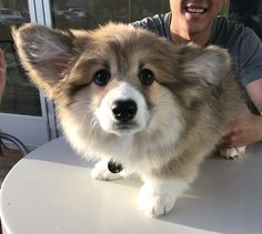 Met Cinnabar the fluffy corgi puppy over the weekend and my heart still hasnt recovered via aww on April 16 2018 at Fluffy Corgi Puppies, Cute Corgi Puppy, Corgi Dog, Cute Puppies, Pet Dogs, Dogs And Puppies, Welsh Corgi Pembroke, Dog Pictures, Dog Photos