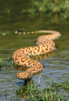 Rattlesnakes are good swimmers!