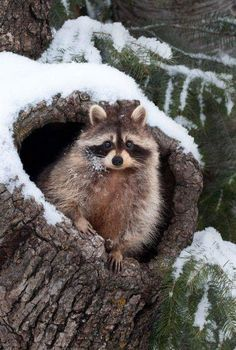 (:: Cute As A Button Is This Raccoon Looking Out Of Its Nook In A Tree Great House Nice & Warm & Cosy ❄❄ ::) - Patty Auger-kundrat - Google+