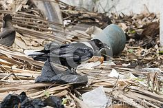 The Pied Crow (Corvus albus) looking for food in a dumpster. Gambia , Africa.