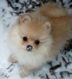 Snowy Pomeranian. Snow on the nose!