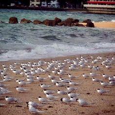 Terns. Oriental Bay. Wellington New Zealand.