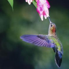 did you know a group of hummingbirds is called a glitter?