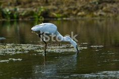 Great Eastern Egret , Photography Place: Nadia, West Bengal, India.