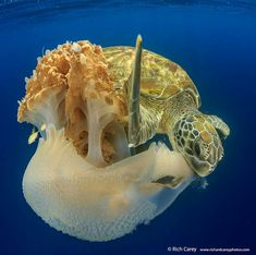 Sea Turtle eating a Jelly | Rich Carey