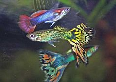 Guppies - Our family kept a tank full of guppies for a long time.