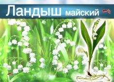 В народной медицине ландыш используется против водянки (что имеет смысл при отеках сердечного происхождения