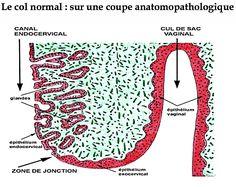 Portion du bas utérus (où celui-ci se joint au sommet du vagin). De col…