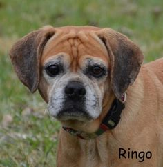 Ringo is an adoptable Pug searching for a forever family near Du Quoin, IL. Use Petfinder to find adoptable pets in your area.