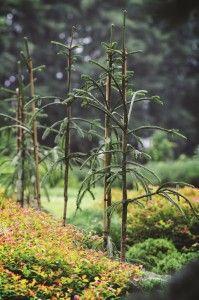 Picea abies 'Dr Barański' - photo: BÓR Nursery - This variety was found in the Świętokrzyskie Mountains in 1975 by dr inż. Stanisław Barański