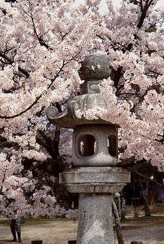 Stone lantern and sakura