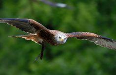 Birds In Flight, Animals, Red Kite, Bird, Animales, Flying Birds, Animaux, Animal, Animais