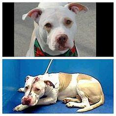 Ridgewood, NY - American Pit Bull Terrier Mix. Meet Brooklyn a Dog for Adoption.