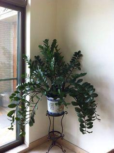 ZZ Plant: