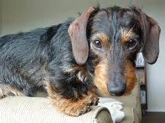 Wirehaired Miniature Dachshund - Yahoo Image Search results