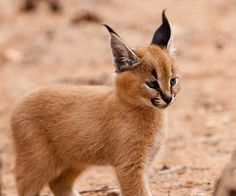 "The caracal is a medium sized cat which it spread in West Asia, South Asia, and Africa. The word Caracal is from Turkey ""Karakulak"" which means ""Black Ears"". Here is all about caracal as a pet. Baby Caracal, Caracal Kittens, Cats And Kittens, Baby Bobcat, Lynx Kitten, Lynx Lynx, Funny Kittens, Caracal Caracal, White Kittens"